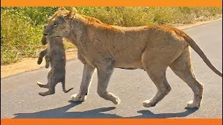 【海外の反応】2頭のママ・ライオンは、ゾウの大群から6匹の子供たちを救えるか?