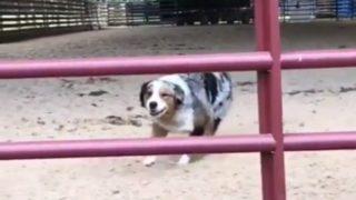 【海外の反応】思いもよらない方法で柵を飛び越える犬
