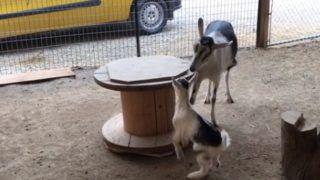 【海外の反応】「実は高い知能の持ち主だった」子ヤギを遊具で遊ばせる母ヤギ