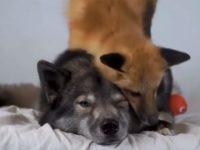 【海外の反応】ベッドの上で遊ぶキツネとオオカミ?本物はどっちだ!
