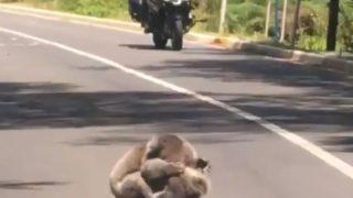 【海外の反応】ビッグサイズのコアラ2匹が、路上で大ゲンカ