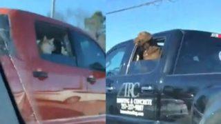 【海外の反応】ピックアップトラックの犬たち「日米にらめっこ対決」