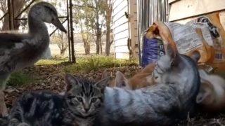 【海外の反応】猫の親子と暮らす子ガモ