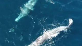 【海外の反応】まるでクジラを先導するように泳ぐイルカ