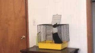 【海外の反応】無駄にものすごいジャンプで脱走を試みるウサギ