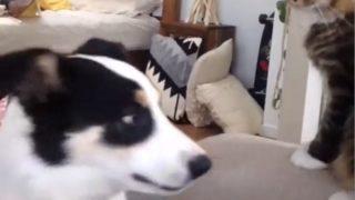 【海外の反応】猫「分かってないね、この犬…  」犬VS猫・エンドレス・バトル!