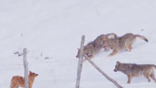 【海外の反応】3匹のオオカミから必死に逃亡を試みるシェパード