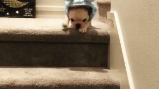 【海外の反応】「ちょっと恥ずかしいスタイル」で階段をおりたブルドッグの子犬