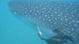 """【海外の反応】ジンベイザメに吸い付いたコバンザメ「敵は""""空から""""やって来た!」"""