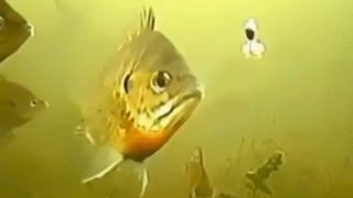 【海外の反応】アメリカでは「美味しい淡水魚」として知られるあの魚が人間にだまされる瞬間