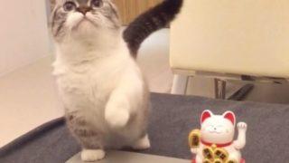 【海外の反応】招き猫のマネをするフォロワー数40万人のセレブ猫