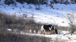 【海外の反応】イタリア人写真家を驚かせた、「オオカミの群れの中でくつろぐ馬」
