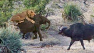 【海外の反応】ライオンの群れから小ゾウを救った水牛たち