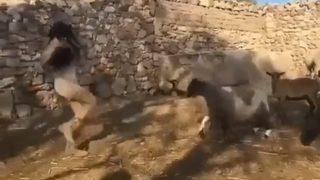 【海外の反応】子ヤギを取り上げた若い女に、母ヤギの「怒りのヘッドバット」が炸裂した瞬間