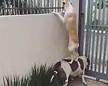 【海外の反応】友達の役に立てるなら自分は踏み台になっても構わないと思っている犬