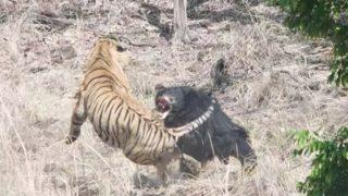 【海外の反応】「トラ VS クマ!15分間の死闘」やっぱり、母は強かった…