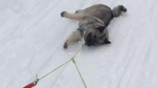 【海外の反応】ノルディックスキー中のご主人様を差し置いて自ら楽しもうとするノルウェーの犬