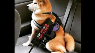 【海外の反応】アメリカで暮らす介助犬シバイヌ
