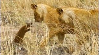 【海外の反応】ライオンVSマングース「 起死回生の体当たり攻撃」