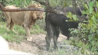 【海外の反応】「獲物に忍び寄ったものの…」何かと準備不足なまま狩りに挑んだライオン