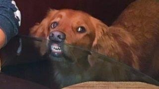 【海外の反応】「笑ってはいけない」飼い主さんの食事を表情だけで妨害する犬