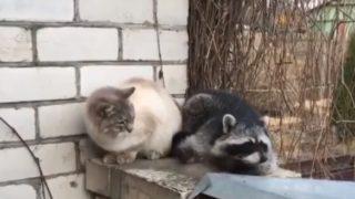 【海外の反応】お触り好きなアライグマ、被害者に猫パンチをお見舞いされる