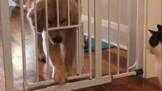 【海外の反応】「目指せ、脱獄王!」猫が見守る前で、ペット用ゲート攻略に挑む子犬