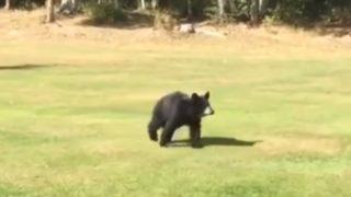 【海外の反応】ゴルフ場に現れた独りぼっちの子熊、ゴルファーに近づき予想外の行動に出る