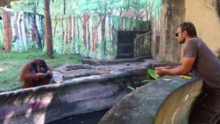 【海外の反応】「ふてぶてしい態度で大人気!」バリ動物園のオランウータン