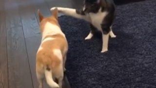 【海外の反応】猫パンチを浴びせるには可愛すぎたワンコ