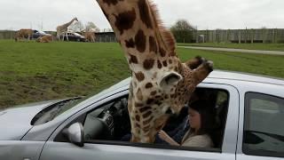 【海外の反応】「キリンの頭が車のパワーウィンドウに…」サファリパークで前代未聞のアクシデント発生
