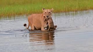 【海外の反応】世界最大のデルタ地帯で川を渡るライオンの家族「母ライオンが下した決断とは?」