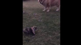 【海外の反応】チベットの超大型犬を蹴散らした「小学生に人気のあの動物」