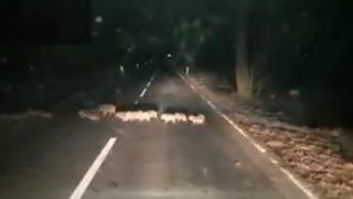 【海外の反応】イタリアの夜道を横断するおびただしい数のウリ坊