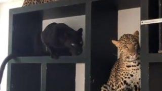 【海外の反応】愛猫家なら一度はチャレンジしたい!作ってみようキャット・シェルフ(猛獣編)