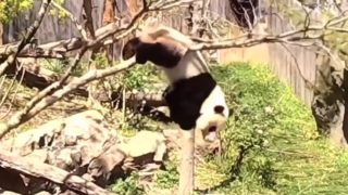 【海外の反応】自らを窮地に追い込み苦悶するジャイアントパンダ