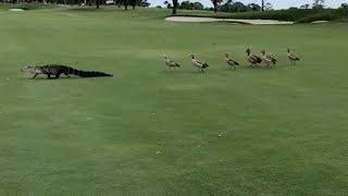 【海外の反応】ガチョウの群れを引き連れてゴルフコースをラウンドするワニ