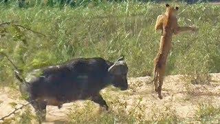 【海外の反応】オオトカゲをしとめた若ライオン、水牛にぶっ飛ばされる…