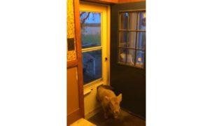 【海外の反応】「ただいま!僕はワンコです。モォ~(?)」犬用ドアを通る子牛