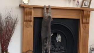 【海外の反応】ジャンプに失敗する猫たちの「誰にも見られたくなかった動画」