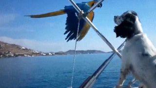 【海外の反応】ワンコが乗船中のモーターボートを追いかけて飛ぶオウム