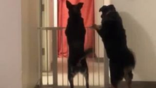 【海外の反応】犬のシッポは口ほどにものを言うのか?
