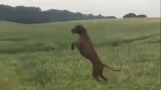 【海外の反応】草原を飛び回るカンガルーみたいなワンコ