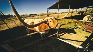【海外の反応】テキサスロングホーンという牛の角がものすごくデカい!