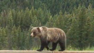 【海外の反応】フリーウェイを威厳タップリに歩くヒグマ