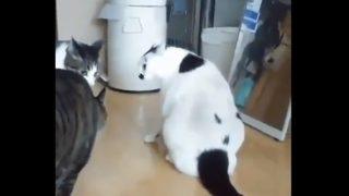 【海外の反応】無視できない存在感でケンカを仲裁するデブ猫