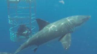 【海外の反応】サメ同士の「挨拶がわりのひと噛み」が半端ない…