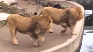 【海外の反応】人前で恥ずかしい失敗をやらかしてしまうライオン