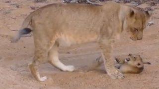 【海外の反応】完全猫モードのライオン親子が愛おしい