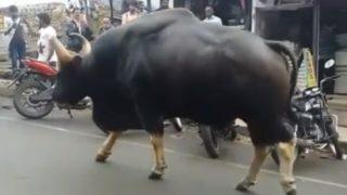 【海外の反応】現存する地上最大の牛の品種、インドのガウルのデカさがわかる動画
